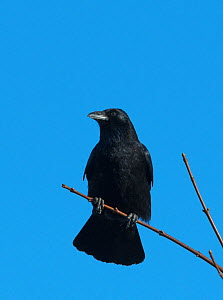 Carrion Crow (Corvus corone) perched on a branch. Druridge Bay, Northumberland, England, UK. January.  -  Roger Powell