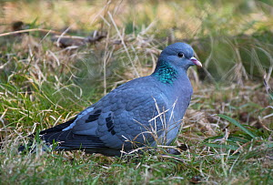 Stock Dove (Columba oenas) feeding on pasture grass. Bayerischer Wald, Bavaria, Germany. April. - Roger Powell