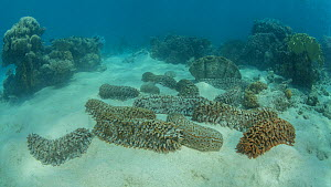 Timelapse of Giant sea cucumbers (Thelenota ananas) moving underwater, with a Giant clam (Tridacna gigas) in the background, Great Barrier Reef, Queensland, Australia, 2015. - Jurgen Freund