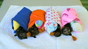 Four orphaned Spectacled flying fox (Pteropus conspicillatus) babies wrapped in blankets with pacifiers, Tolga Bat Hospital, Queensland, Australia.  -  Jurgen Freund