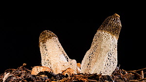 Timelapse of Maiden's  veil fungi (Phallus indusiatus) emerging on a rotating tabe, Australia. Controlled conditions.  -  Jurgen Freund