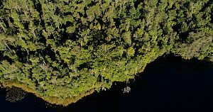 Aerial shot above a rainforest canopy, panning down to reveal a Queensland kauri pine (Agathis robusta) along the edge of Lake Barrine, Wet Tropic World Heritage Area, North Queensland, Australia. 201...  -  Jurgen Freund