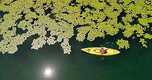Aerial shot flying above Lake Barrine, with a kayaker paddling along the edge of Water lilies (Nymphaea gigantea), Wet Tropic World Heritage Area, North Queensland, Australia. - Jurgen Freund