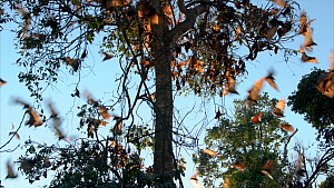 Colony of Little red flying foxes (Pteropus scapulatus) leaving roost site, Atherton Tablelands, Queensland, Australia.  -  Juergen Freund