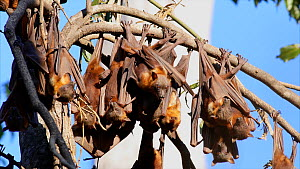 Colony of Little red flying foxes (Pteropus scapulatus) at roost, with several bats flying in, landing on others on a branch, Atherton Tablelands, Queensland, Australia. - Jurgen Freund
