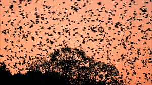 Large group of Little red flying foxes (Pteropus scapulatus) flying at dusk, Atherton Tablelands, Queensland, Australia.  -  Juergen Freund