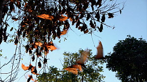Colony of Little red flying foxes (Pteropus scapulatus) roosting in a tree, Atherton Tablelands, Queensland, Australia. - Jurgen Freund