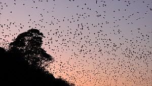 Large group of Little red flying foxes (Pteropus scapulatus) flying from their roost trees at dusk, Atherton Tablelands, Queensland, Australia. - Jurgen Freund