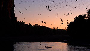 Australian freshwater crocodiles (Crocodylus johnsoni) trying to catch Little red flying foxes (Pteropus scapulatus) flying to drink from a river, Kimberley, Western Australia - Jurgen Freund