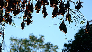 Colony of Little red flying foxes (Pteropus scapulatus) roosting, with their ears and wings backlit, Atherton Tablelands, Queensland, Australia. - Jurgen Freund