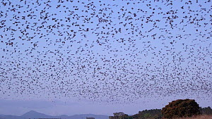 Wide angle shot of Little red flying foxes (Pteropus scapulatus) flying at dusk, Atherton Tablelands, Queensland, Australia. - Jurgen Freund