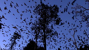 Little red flying foxes (Pteropus scapulatus) flying from roosting tree at dusk, Atherton Tablelands, Queensland, Australia. - Jurgen Freund
