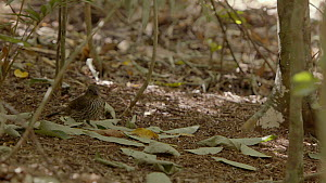 Male Tooth-billed bowerbird (Scenopoeetes dentirostris) removing yellow leaves from his bower, leaving only green leaves turned over on the ground, Atherton Tablelands, Queensland, Australia. - Jurgen Freund