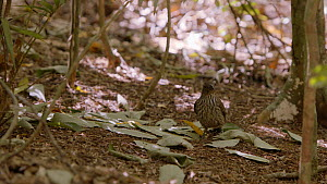 Male Tooth-billed bowerbird (Scenopoeetes dentirostris) returning to his bower with a new green leaf, removes yellow leaves, leaving only green leaves, Atherton Tablelands, Queensland, Australia. - Jurgen Freund