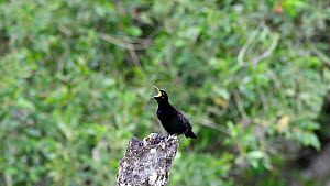 Male Victoria's riflebird (Ptiloris victoriae) calling in the forest, Atherton Tablelands, Queensland, Australia. - Jurgen Freund