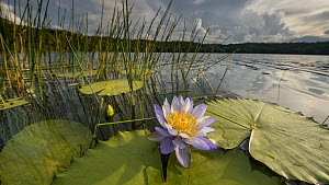 Timelapse of Water lily (Nymphaea gigantea) closing at dusk, Lake Barrine, Wet Tropics World Heritage Area, North Queensland, Australia. - Jurgen Freund