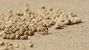 Sand bubbler crab (Dotillidae) feeding, filtering detritus and plankton from sand and discarding the processed sand as pellets, which cover the beach, Wet Tropics World Heritage Area, Cape Tribulation...  -  Jurgen Freund