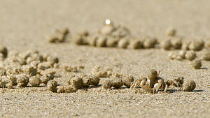 Sand bubbler crabs (Dotillidae) feeding, filtering detritus and plankton from sand and discarding the processed sand as pellets, which cover the beach, Wet Tropics World Heritage Area, Cape Tribulatio...  -  Juergen Freund