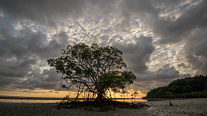 Timelapse of the sun rising behind a Mangrove (Rhiophora) at low tide, Daintree, Wet Tropics World Heritage Area, North Queensland, Australia. - Jurgen Freund