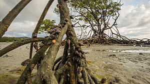 Timelapse of Periwinkle snails (Littoraria) climbing up Mangrove (Rhizophora) roots at lowtide, Daintree, Wet Tropics World Heritage Area, North Queensland, Australia.  -  Jurgen Freund