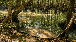 Timelapse of the tide rising in a Mangrove (Rhizophora) forest, Daintree, Wet Tropics World Heritage Area, North Queensland, Australia. - Jurgen Freund