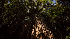 Timelapse of a Strangler fig (Ficus virens) at night lit by the moon, known as the Curtain Fig Tree, this individual is over 500 years old, Atherton Tablelands, Wet Tropics World Heritage Area, Queens...  -  Juergen Freund