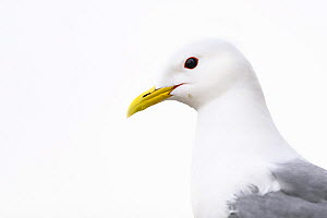 Black-legged kittiwake (Rissa tridactyla) adult against an overcast sky. Newcastle, UK. June  -  Oscar Dewhurst