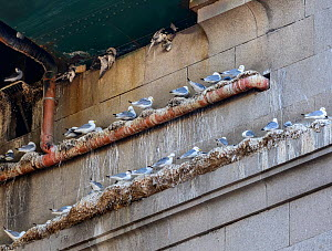 Black-legged kittiwake (Rissa tridactyla) adults on nests underneath the Tyne Bridge. Also visible are kittiwakes that died after being trapped in netting erected as a deterrent to the kittiwakes bree...  -  Oscar Dewhurst