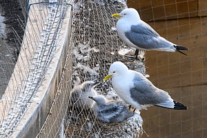 Black-legged kittiwake (Rissa tridactyla) adults and chicks. Also visible is the netting installed as a deterrent to kittiwakes breeding on the buildings. One chick has slipped through the netting, so...  -  Oscar Dewhurst