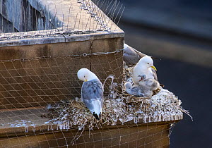 Black-legged kittiwake (Rissa tridactyla) adults and chicks on nests on a building ledge in Newcastle city centre. Also visible is netting and spikes installed in an attempt to prevent the kittiwakes... - Oscar Dewhurst