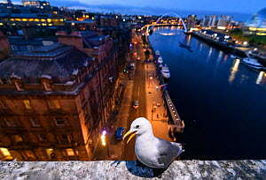 Black-legged kittiwake (Rissa tridactyla) adult perched on the side of the Tyne Bridge, overlooking Newcastle and the Tyne. Newcastle, UK. July - Oscar Dewhurst