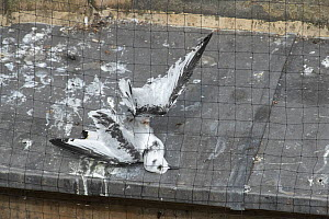 Black-legged kittiwake (Rissa tridactyla) juvenile that has died after becoming tangled in netting installed on buildings in Newcastle in an attempt to prevent the kittiwakes nesting on them. Newcastl... - Oscar Dewhurst