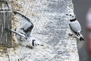 Black-legged kittiwake (Rissa tridactyla) juveniles, including one caught in netting intalled on buildings to prevent the kittiwakes from nesting there. Newcastle, UK. July - Oscar Dewhurst