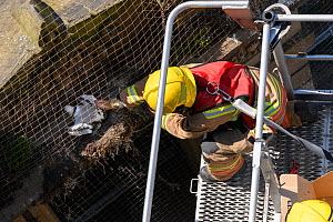 Black-legged kittiwakes (Rissa tridactyla) and the fire brigade coming to rescue a juvenile trapped by netting installed to prevent the kittiwakes nesting on the buildings. Newcastle, UK. July  -  Oscar Dewhurst