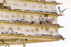 Black-legged kittiwake (Rissa tridactyla) juveniles on an artificial nesting tower built in Gateshead, Newcastle, UK. July  -  Oscar Dewhurst