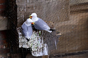 Black-legged kittiwake (Rissa tridactyla) pair calling whilst perched on netting on a building in Newcastle city centre. The netting is erected on listed buildings as a deterrent to stop birds nesting... - Oscar Dewhurst