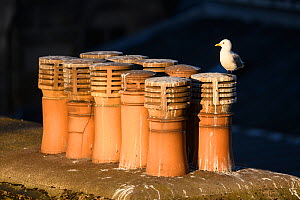 Black-legged kittiwake (Rissa tridactyla) adult perched on chimney pots, Newcastle, UK. June  -  Oscar Dewhurst