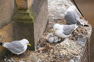 Black-legged kittiwake (Rissa tridactyla) adults and recently-hatched chicks on nests on a building ledge in Newcastle city centre. The image also shows netting erected on the buildings to prevent kit... - Oscar Dewhurst