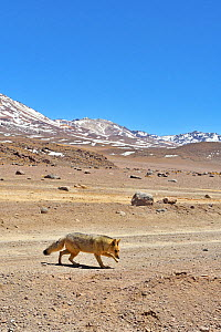 Andean fox (Lycalopex culpaeus) walking in the Altiplano, Andes, Bolivia. September 2018.  -  Daniel  Heuclin