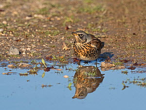Fieldfare (Turdus pilaris) newly arrived migrant from the continent, drinking in puddle. North Norfolk, England, UK. October.  -  David Tipling