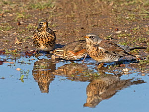 Fieldfare (Turdus pilaris) and Redwing (Turdus iliacus) newly arrived migrants from the continent drinking and bathing in puddle. North Norfolk, England, UK. October. - David Tipling