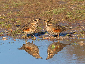 Redwing (Turdus iliacus) newly arrived migrants drinking at puddle, North Norfolk, England, UK, October. - David Tipling