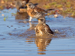 Fieldfares (Turdus pilaris), newly arrived migrants from the continent drinking and bathing in puddles, North Norfolk, England, UK, October.  -  David Tipling