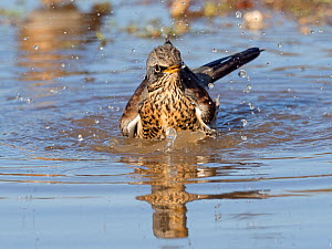 Fieldfare (Turdus pilaris) newly arrived migrant from the continent drinking and bathing in puddle, North Norfolk, England, UK, October.  -  David Tipling