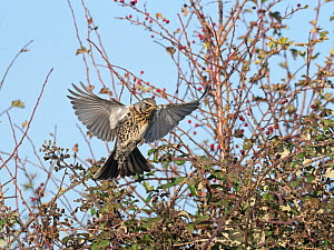 Fieldfare (Turdus pilaris) newly arrived migrant from the continent landing in hedgerow, North Norfolk, England, UK, October.  -  David Tipling
