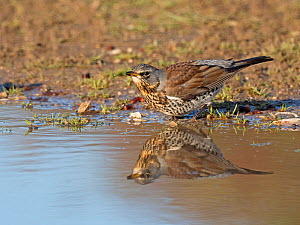 Fieldfare (Turdus pilaris) newly arrived migrant from the continent, drinking and bathing in puddle, North Norfolk, England, UK, October.  -  David Tipling