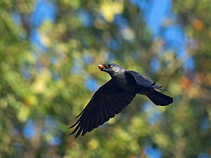 Western jackdaw (Corvus monedula) flying with Sweet chestnut (Castanea sativa) in beak. Richmond Park, London, England, UK. October. - David Tipling