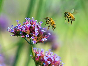 RF- Honeybee worker (Apis mellifera) flying and feeding on garden verbena flowers. England, UK, August. Digital composite. (This image may be licensed either as rights managed or royalty free.) - Ernie  Janes