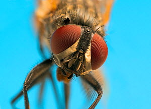 RF- Housefly (Musca domestica) close up. (This image may be licensed either as rights managed or royalty free.)  -  Ernie  Janes