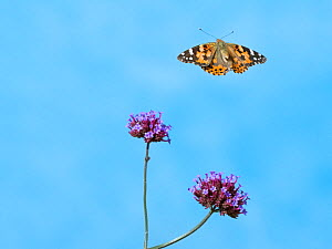 RF- Painted lady butterfly (Cynthia cardui) in flight to feed from verbena flowers. (This image may be licensed either as rights managed or royalty free.) - Ernie  Janes